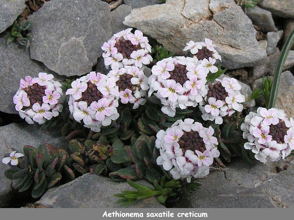 Aethionema saxatile creticum