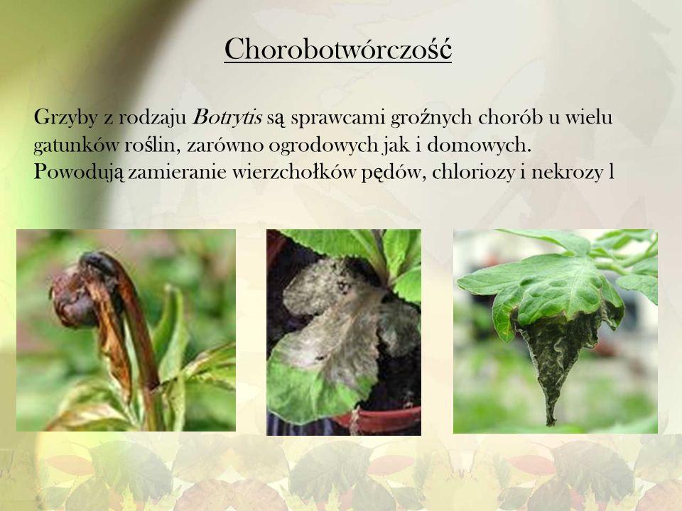 Chorobotwórczość Grzyby z rodzaju Botrytis są sprawcami groźnych chorób u wielu gatunków roślin, zarówno ogrodowych jak i domowych.