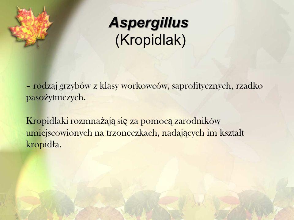 Aspergillus (Kropidlak)