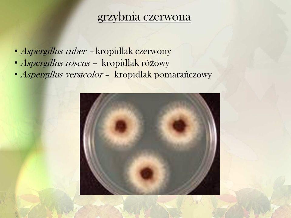 grzybnia czerwona Aspergillus ruber – kropidlak czerwony