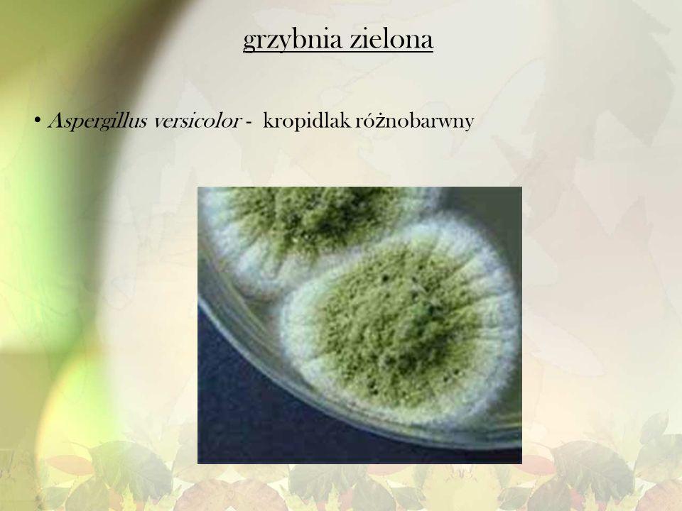 grzybnia zielona Aspergillus versicolor - kropidlak różnobarwny