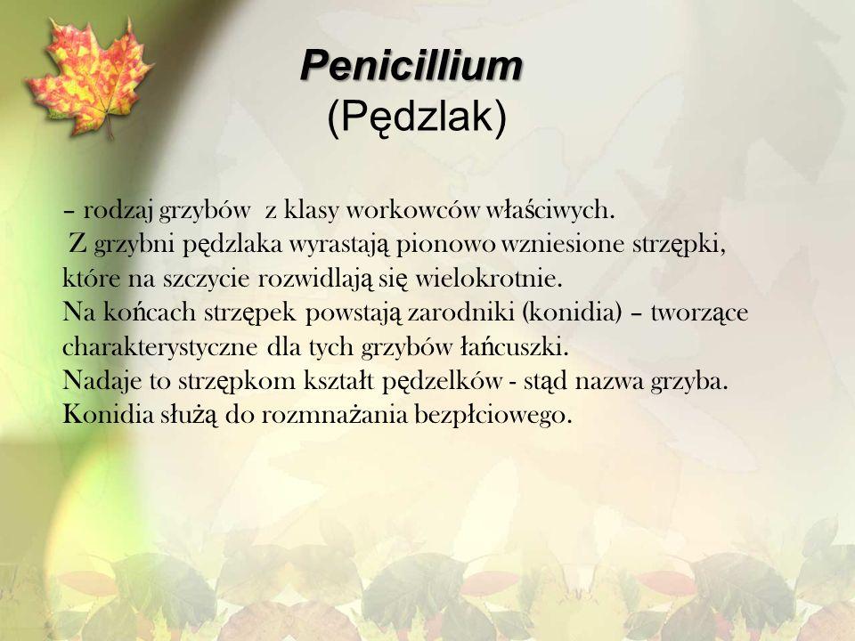 Penicillium (Pędzlak) – rodzaj grzybów z klasy workowców właściwych.