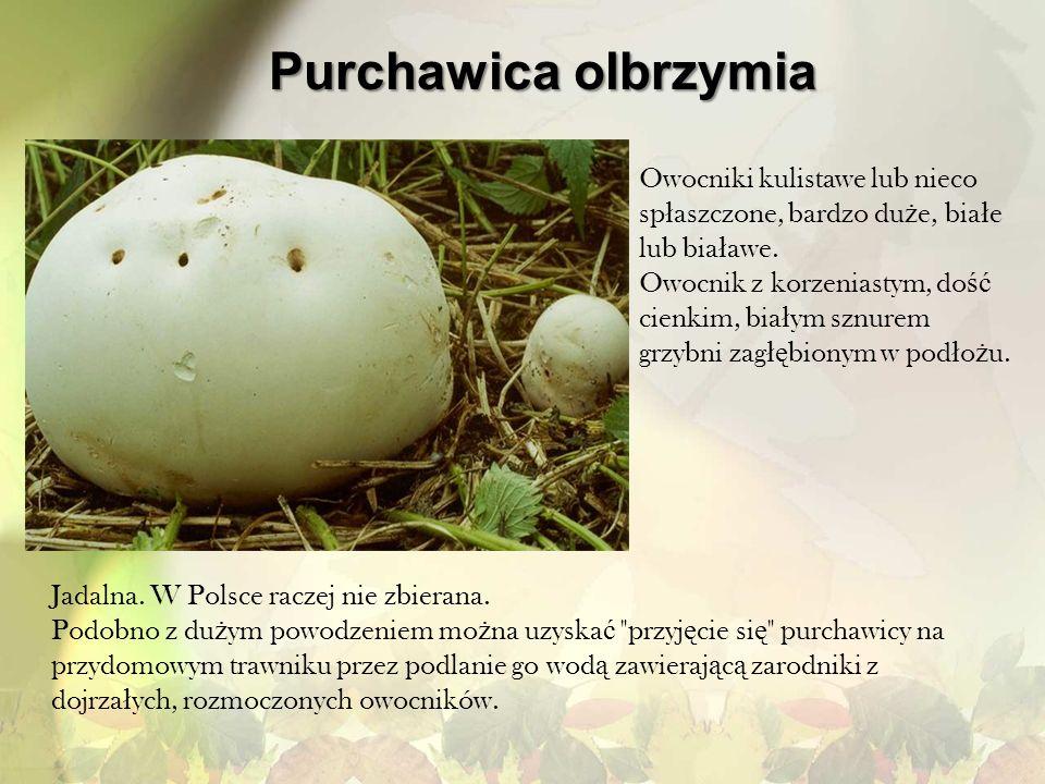 Purchawica olbrzymia Owocniki kulistawe lub nieco spłaszczone, bardzo duże, białe lub białawe.