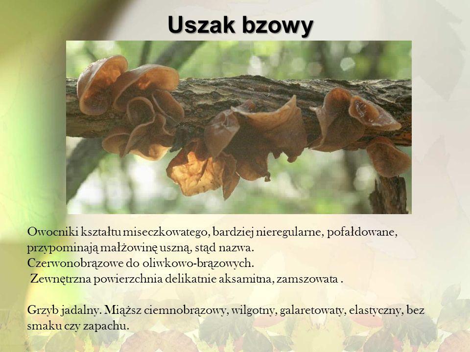 Uszak bzowy Owocniki kształtu miseczkowatego, bardziej nieregularne, pofałdowane, przypominają małżowinę uszną, stąd nazwa.