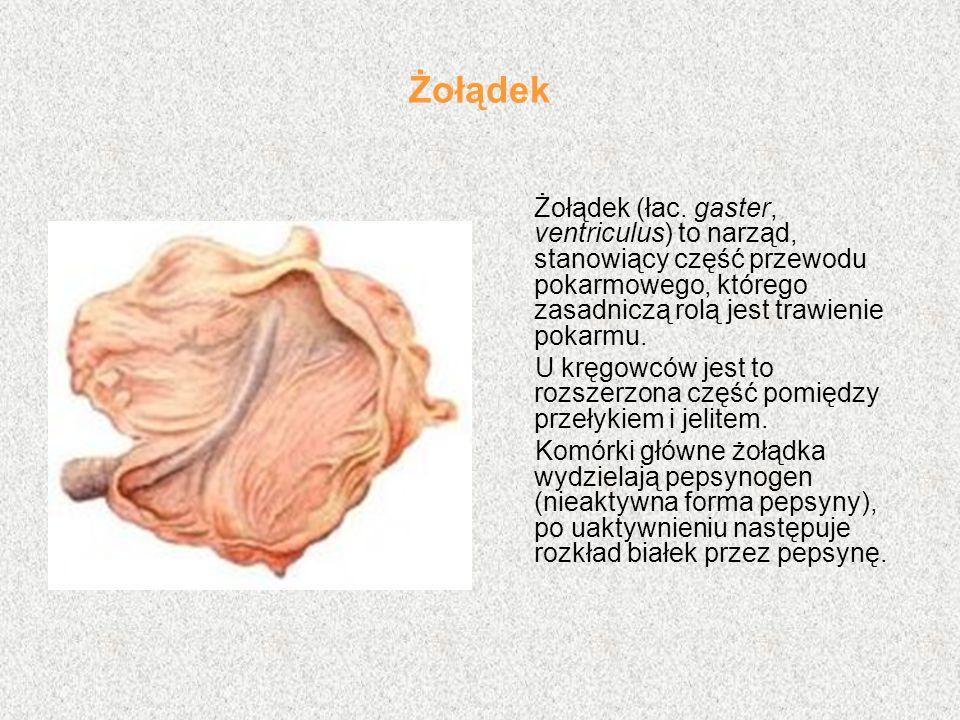 Żołądek Żołądek (łac. gaster, ventriculus) to narząd, stanowiący część przewodu pokarmowego, którego zasadniczą rolą jest trawienie pokarmu.