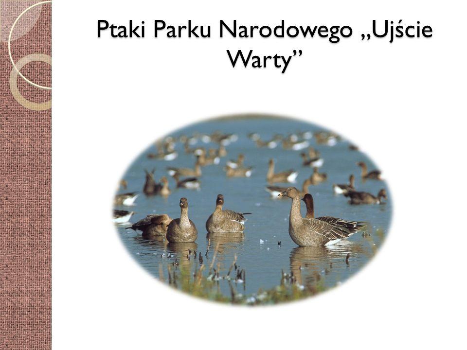 """Ptaki Parku Narodowego """"Ujście Warty"""