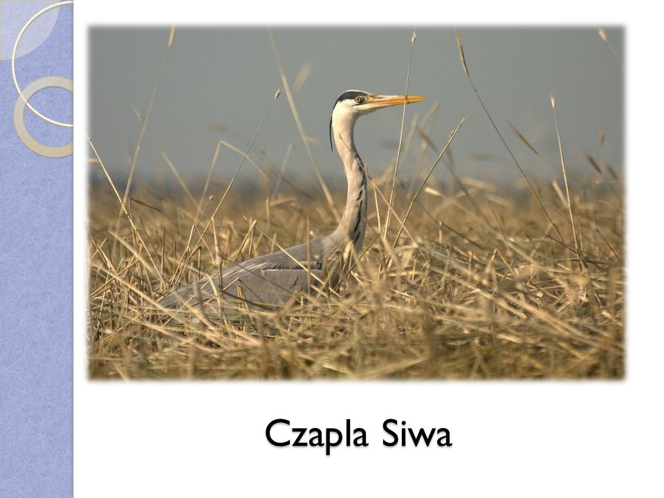 Czapla Siwa