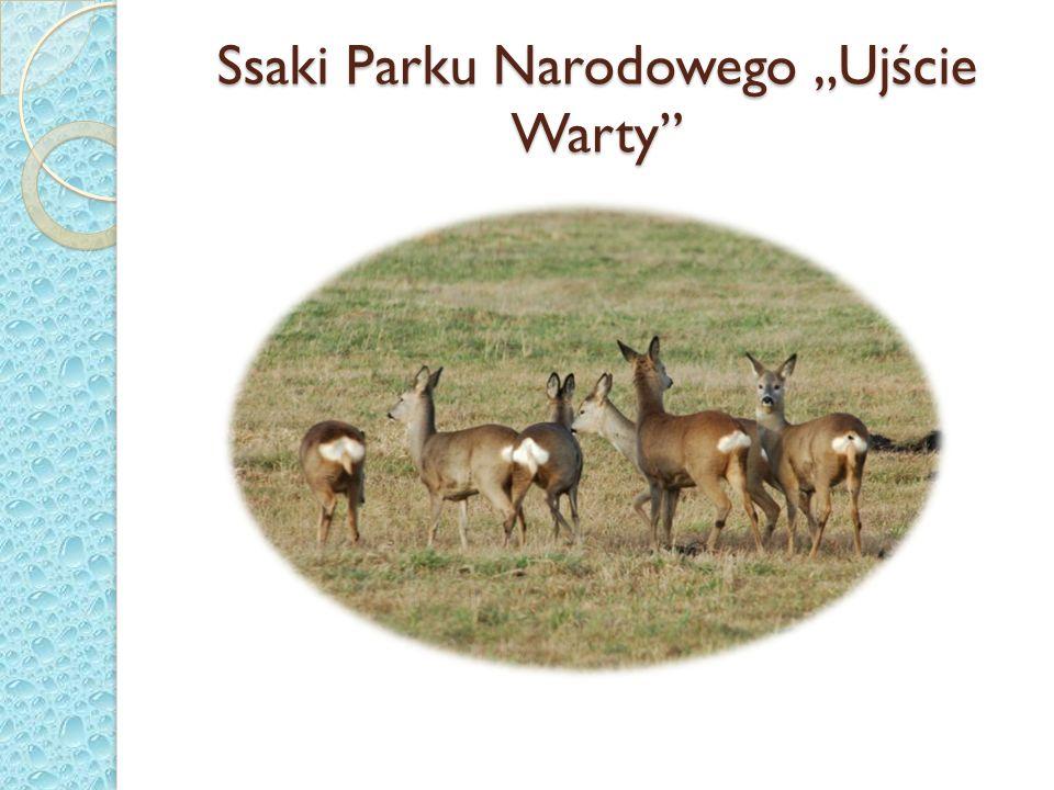 """Ssaki Parku Narodowego """"Ujście Warty"""