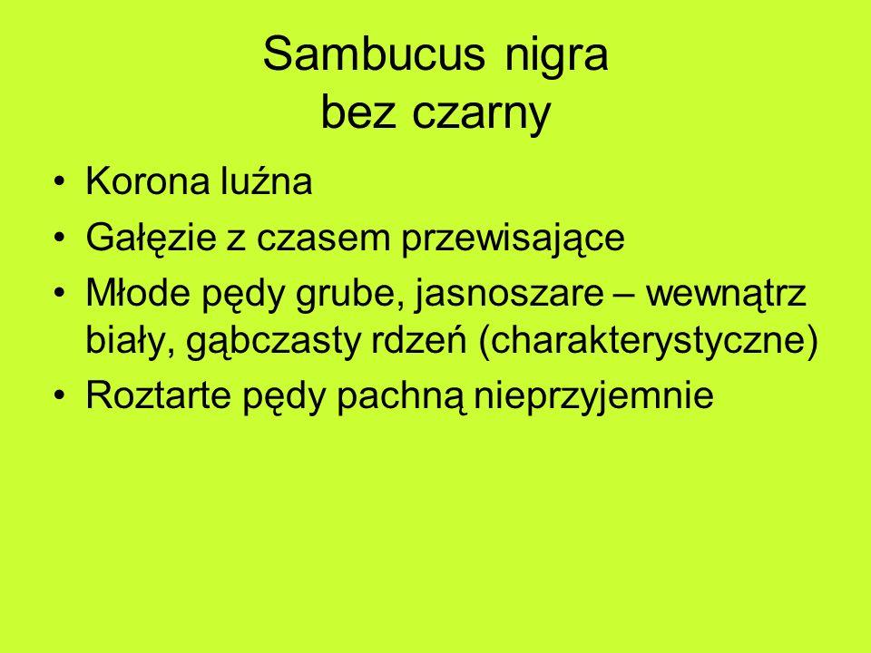 Sambucus nigra bez czarny