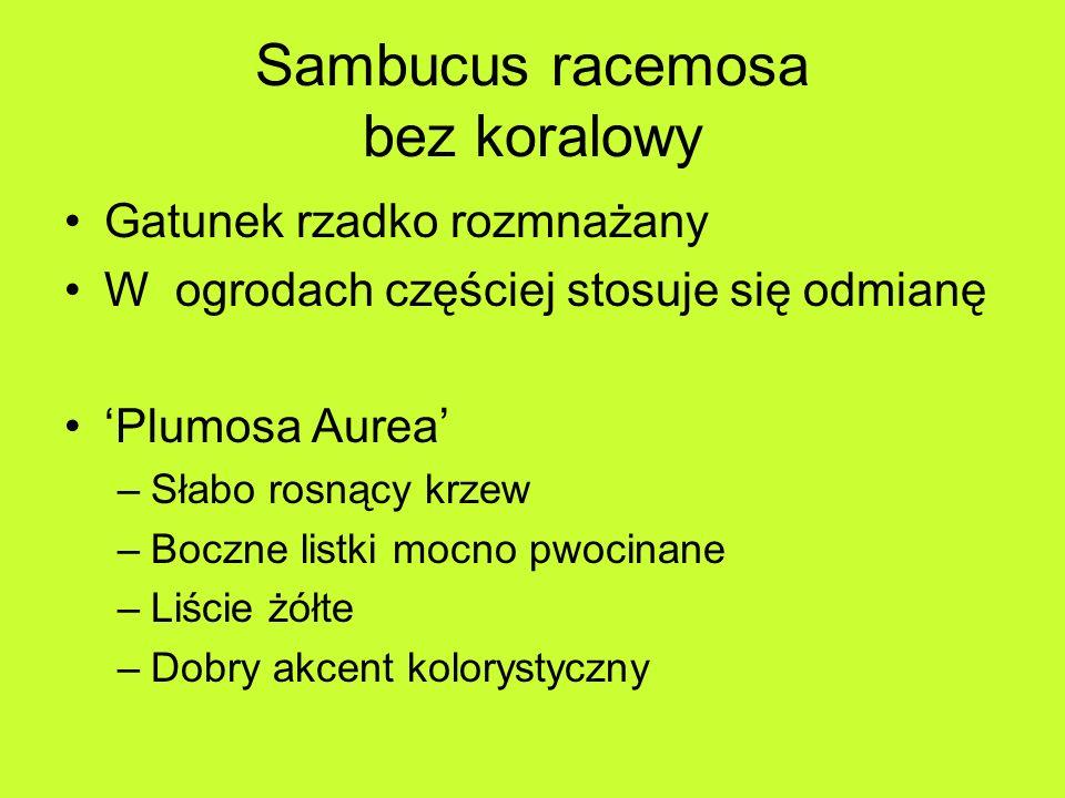 Sambucus racemosa bez koralowy