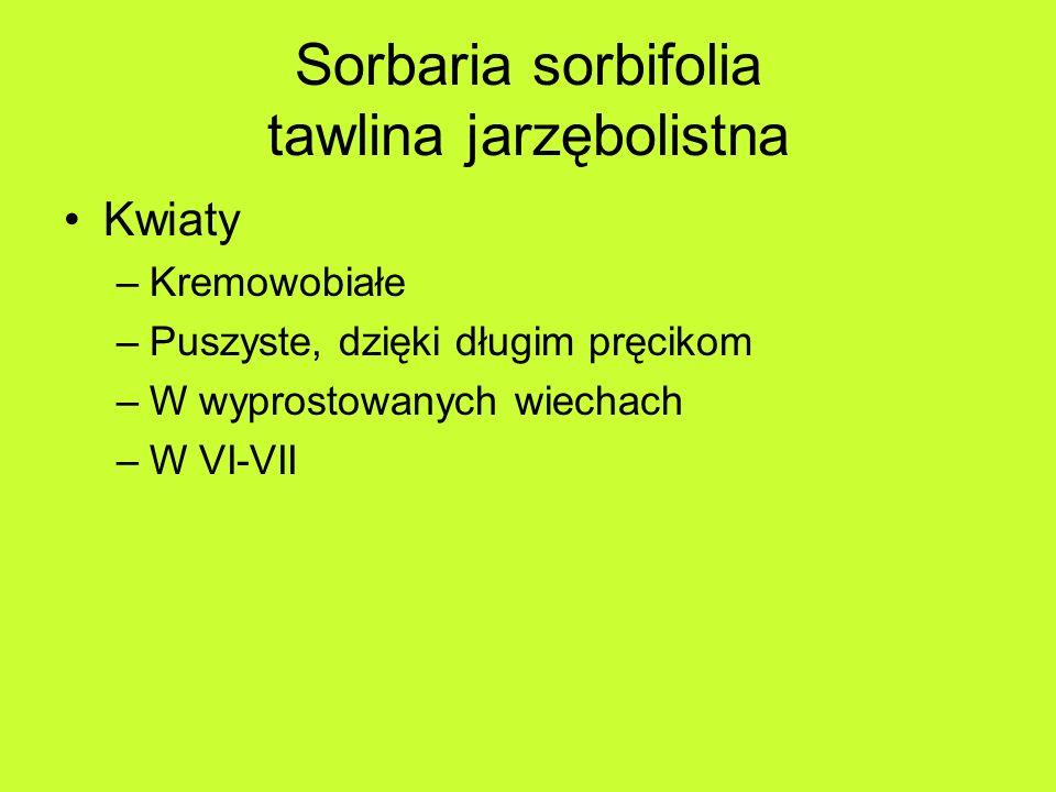 Sorbaria sorbifolia tawlina jarzębolistna