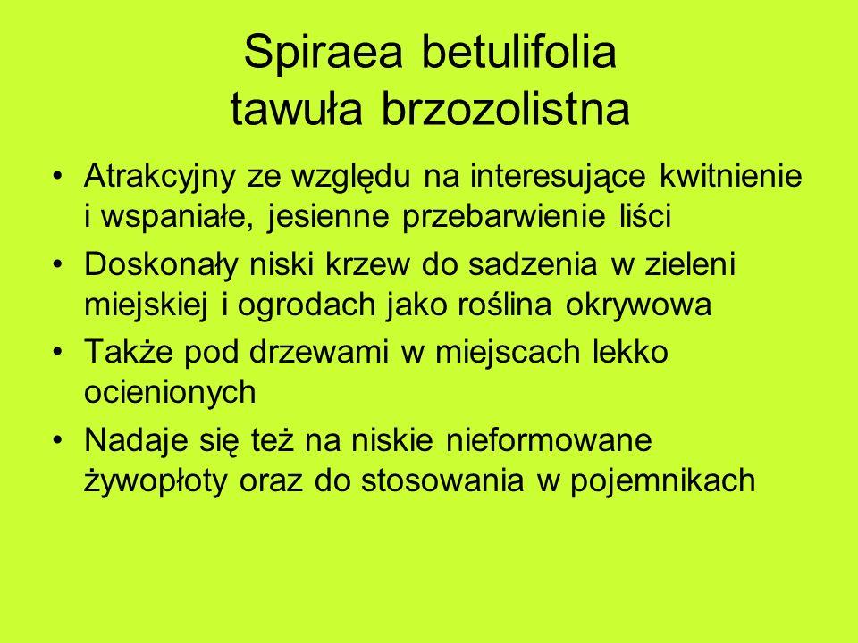 Spiraea betulifolia tawuła brzozolistna