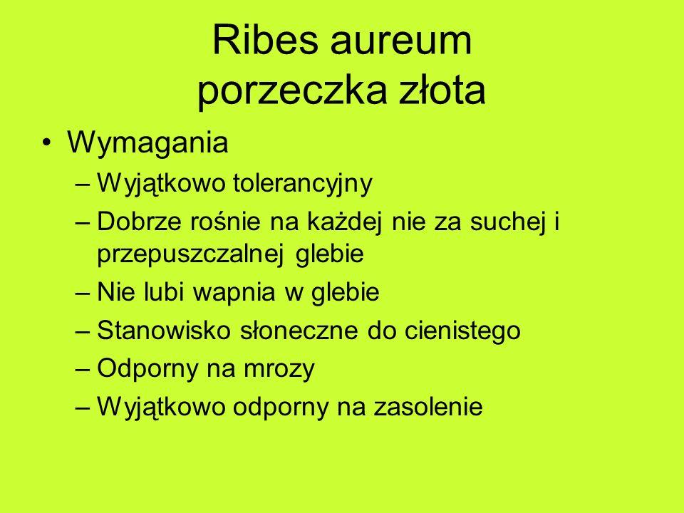 Ribes aureum porzeczka złota