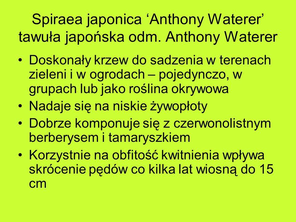 Spiraea japonica 'Anthony Waterer' tawuła japońska odm. Anthony Waterer
