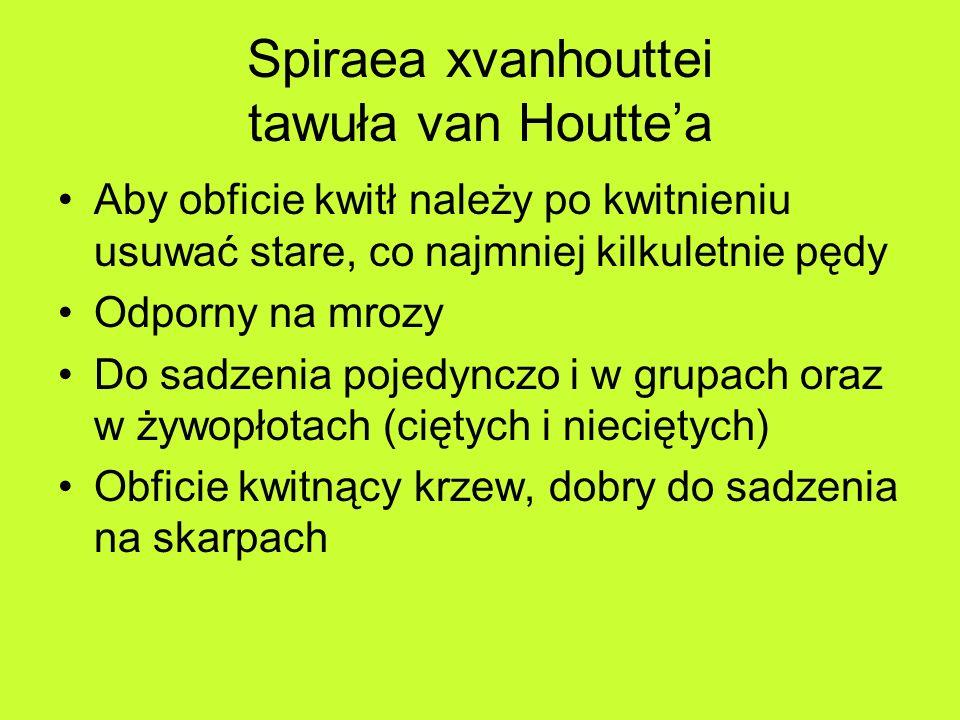 Spiraea xvanhouttei tawuła van Houtte'a