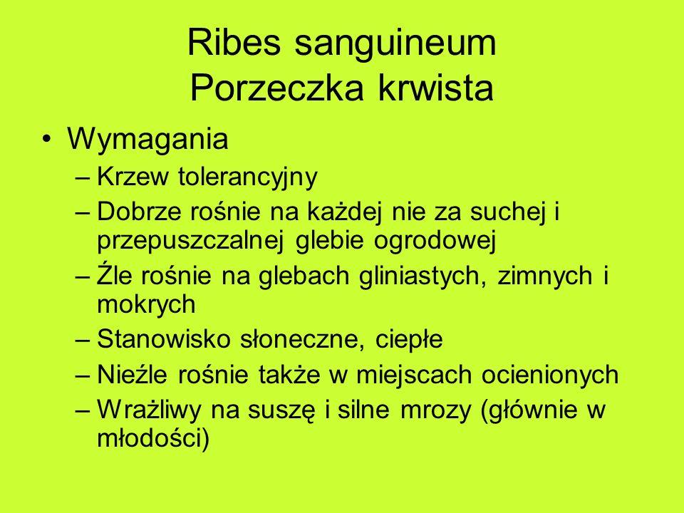 Ribes sanguineum Porzeczka krwista