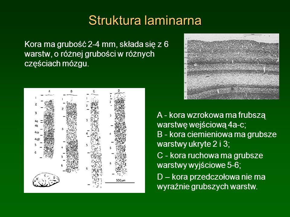 Struktura laminarna Kora ma grubość 2-4 mm, składa się z 6 warstw, o różnej grubości w różnych częściach mózgu.