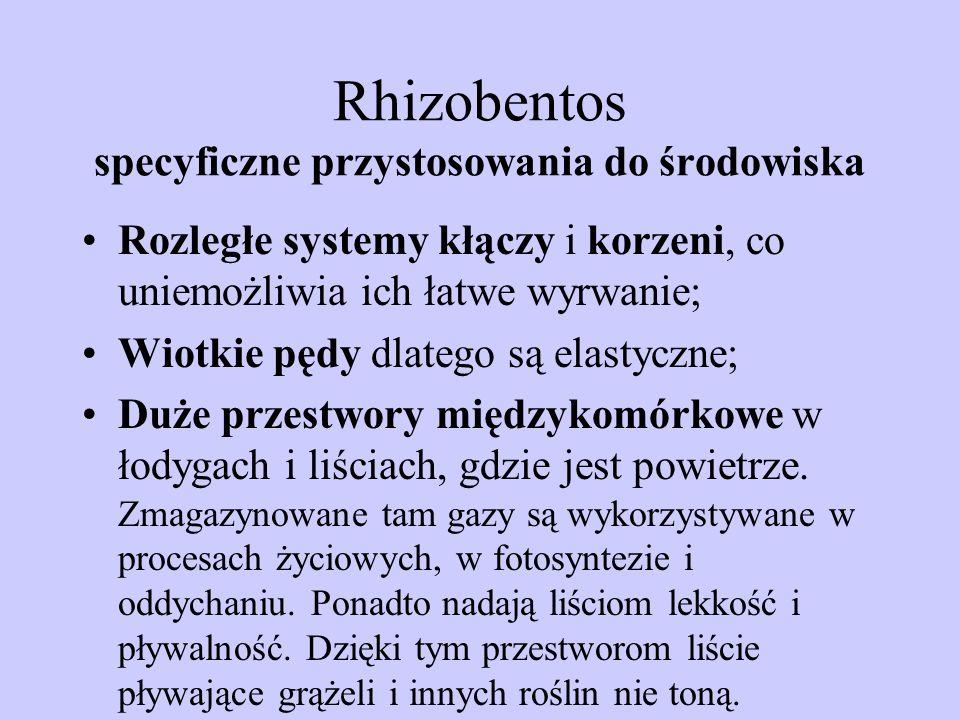 Rhizobentos specyficzne przystosowania do środowiska