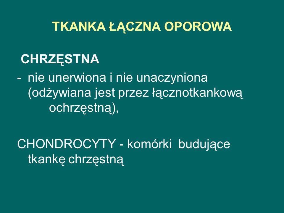 TKANKA ŁĄCZNA OPOROWA CHRZĘSTNA. nie unerwiona i nie unaczyniona (odżywiana jest przez łącznotkankową ochrzęstną),