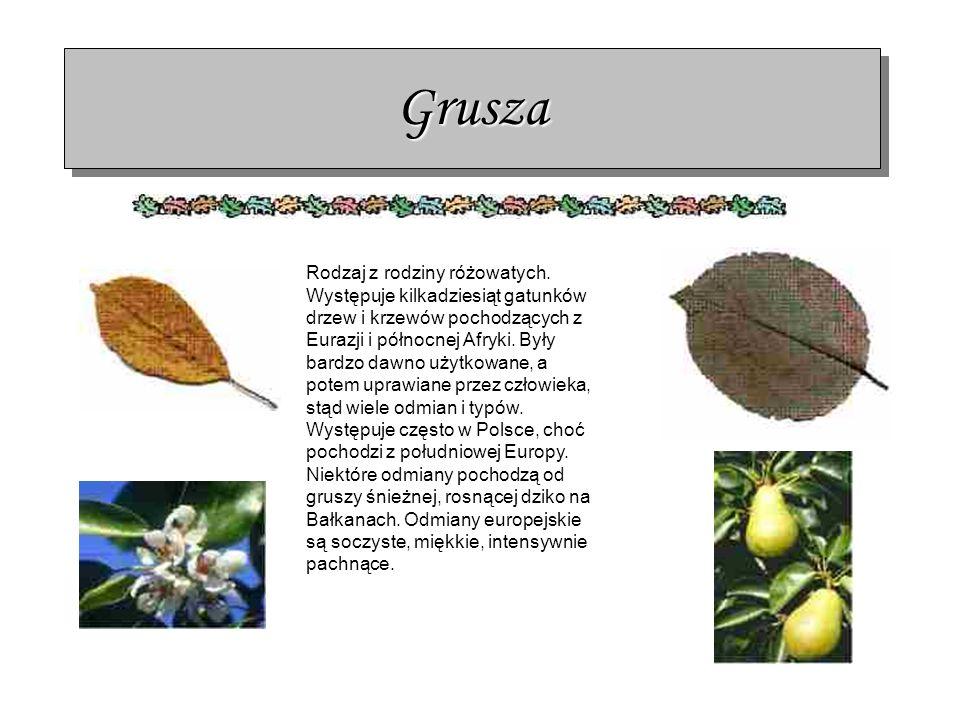 Grusza