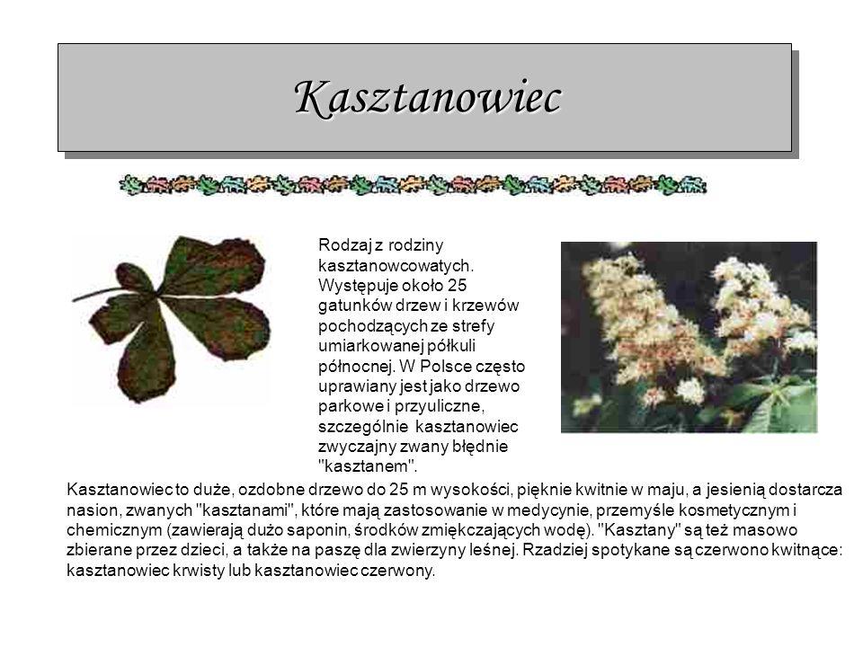 Kasztanowiec