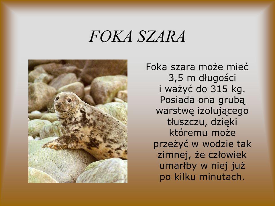 FOKA SZARA