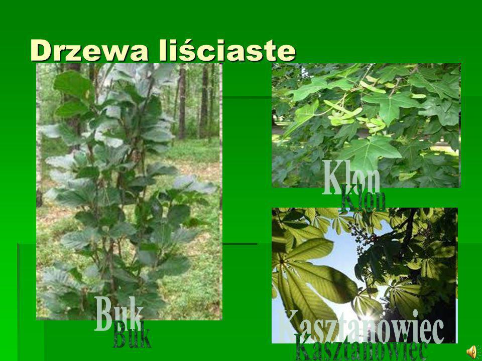 Drzewa liściaste Klon Buk Kasztanowiec