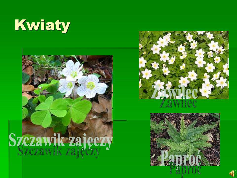 Kwiaty Zawilec Szczawik zajęczy Paproć