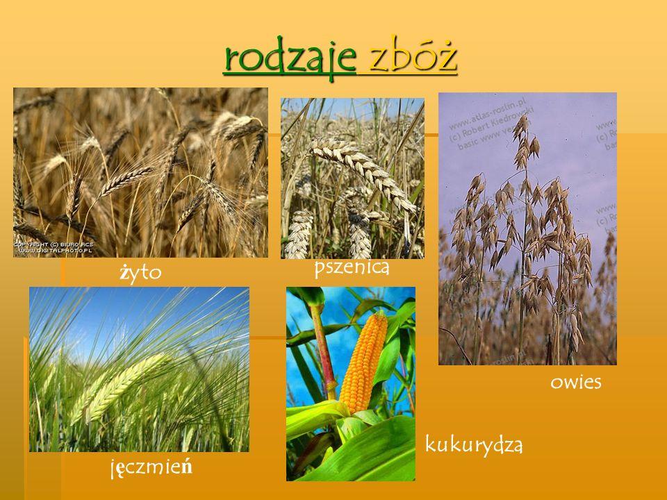 rodzaje zbóż pszenica żyto owies kukurydza jęczmień