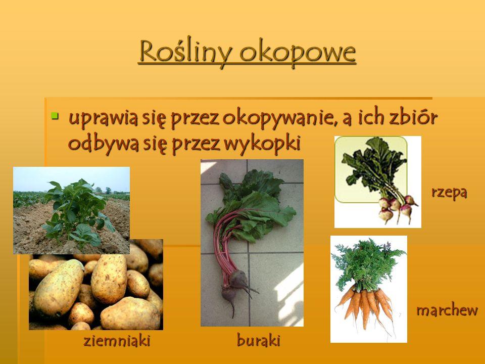 Rośliny okopowe uprawia się przez okopywanie, a ich zbiór odbywa się przez wykopki. rzepa. marchew.
