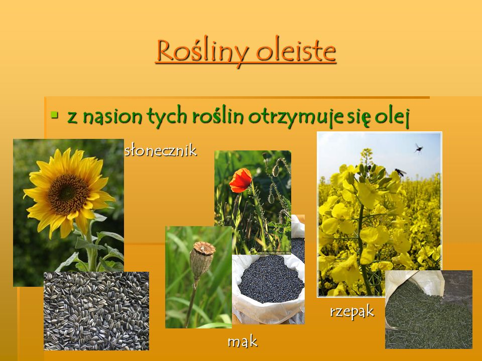 Rośliny oleiste z nasion tych roślin otrzymuje się olej słonecznik