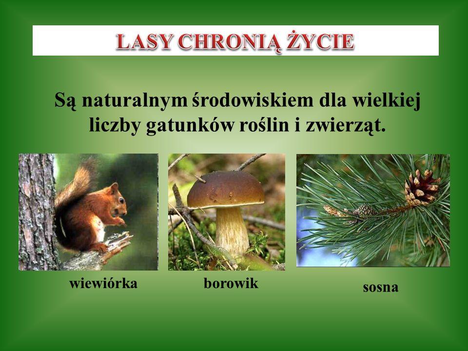 LASY CHRONIĄ ŻYCIE Są naturalnym środowiskiem dla wielkiej liczby gatunków roślin i zwierząt. wiewiórka.