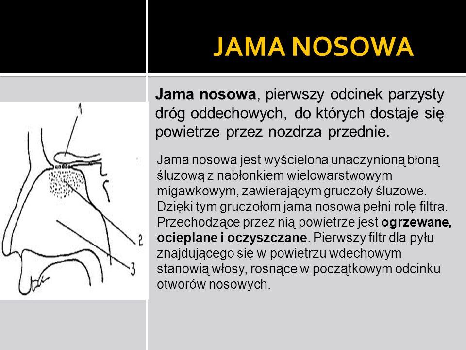 JAMA NOSOWA Jama nosowa, pierwszy odcinek parzysty dróg oddechowych, do których dostaje się powietrze przez nozdrza przednie.