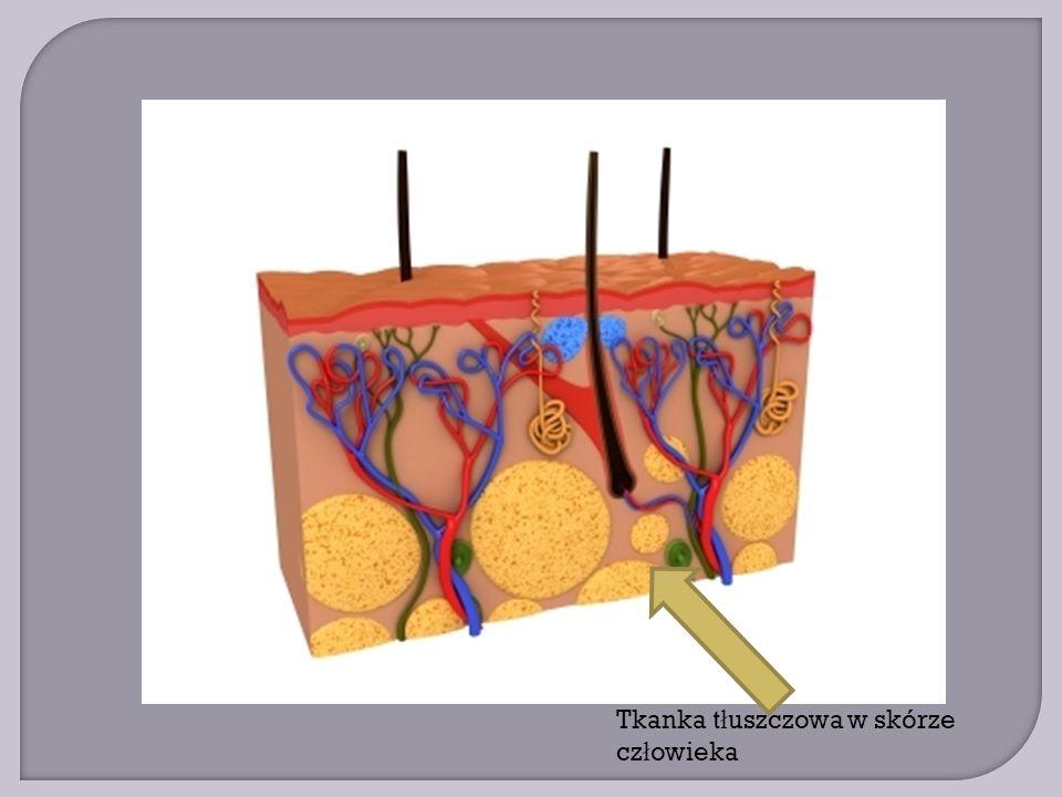 Tkanka tłuszczowa w skórze człowieka