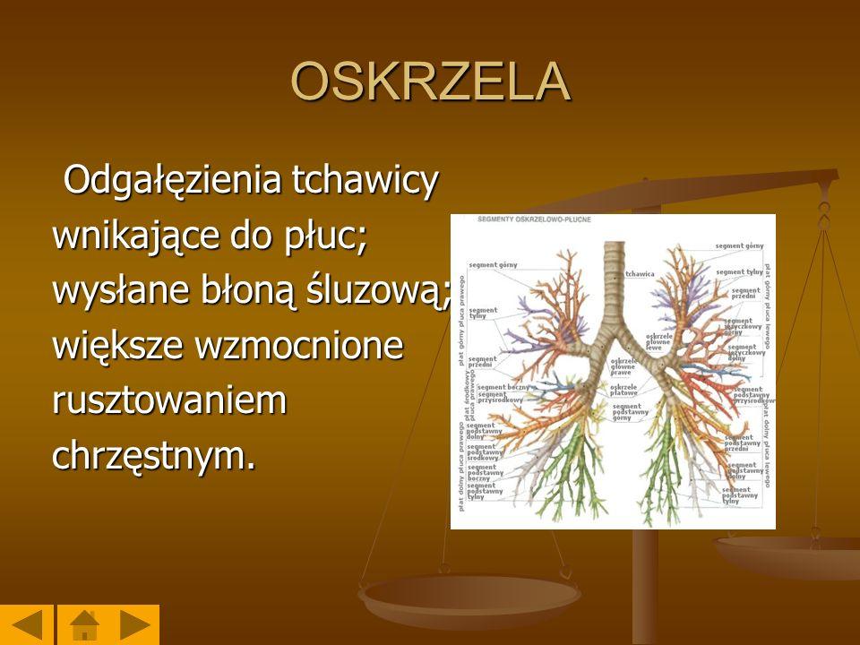 OSKRZELA Odgałęzienia tchawicy wnikające do płuc;