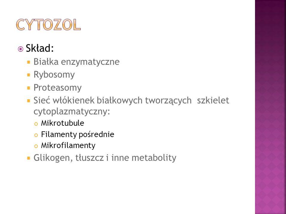 Cytozol Skład: Białka enzymatyczne Rybosomy Proteasomy