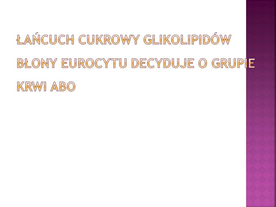Łańcuch cukrowy glikolipidów błony eurocytu decyduje o grupie krwi ABO