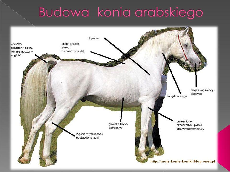 Budowa konia arabskiego