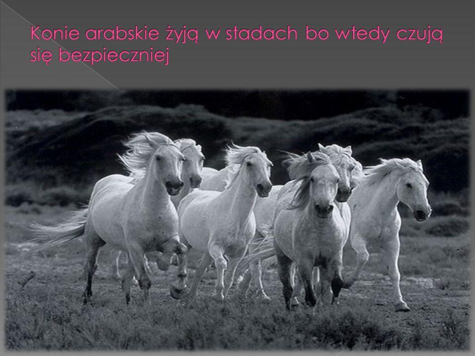 Konie arabskie żyją w stadach bo wtedy czują się bezpieczniej