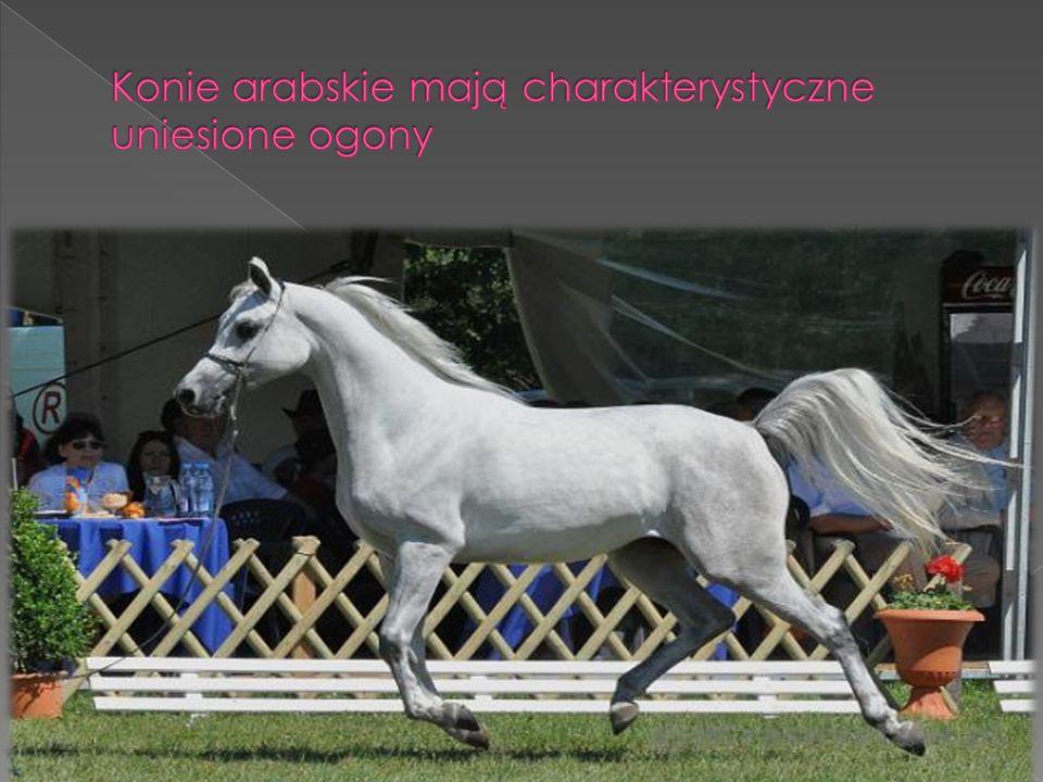 Konie arabskie mają charakterystyczne uniesione ogony