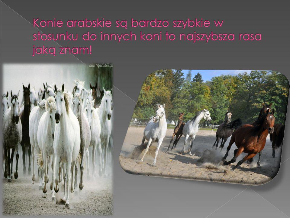Konie arabskie są bardzo szybkie w stosunku do innych koni to najszybsza rasa jaką znam!