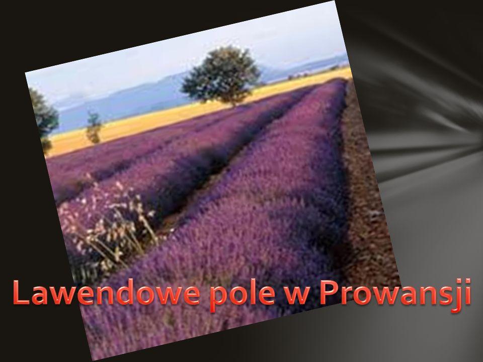 Lawendowe pole w Prowansji