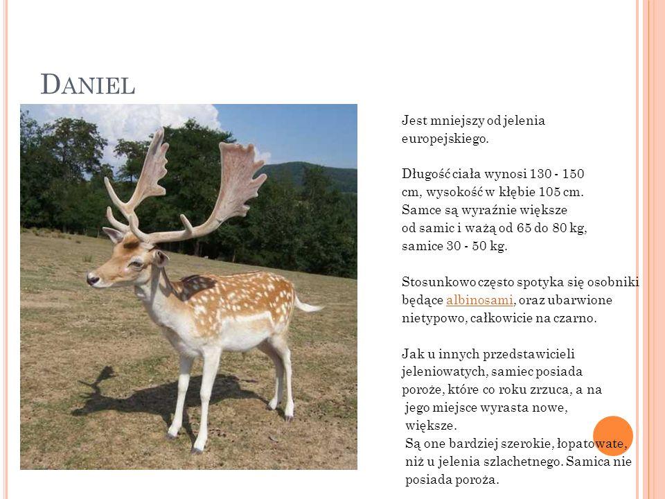 Daniel Jest mniejszy od jelenia europejskiego.