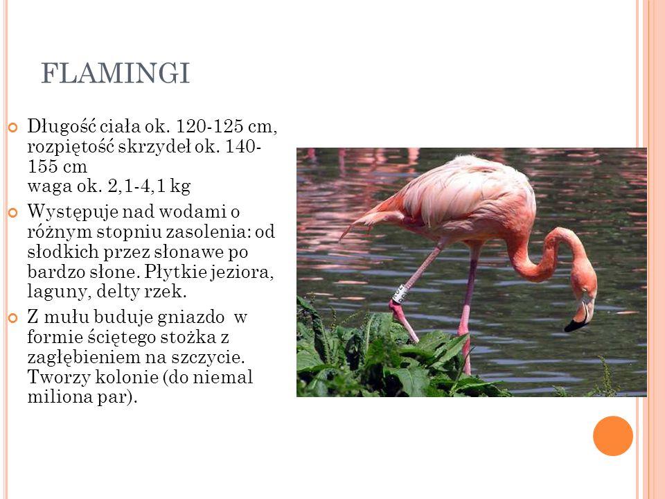 FLAMINGI Długość ciała ok. 120-125 cm, rozpiętość skrzydeł ok. 140- 155 cm waga ok. 2,1-4,1 kg.