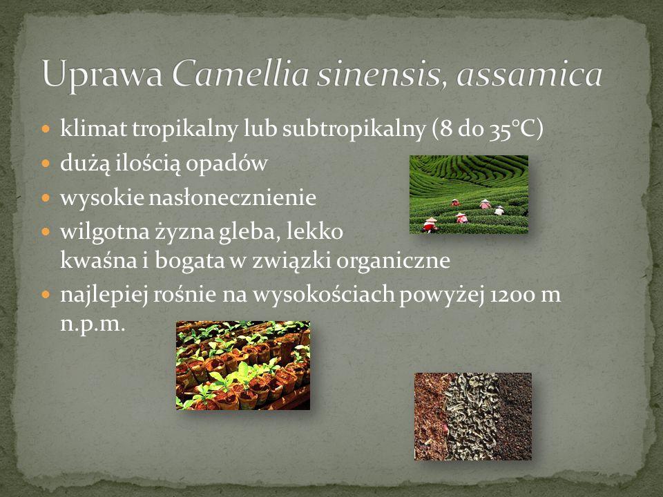 Uprawa Camellia sinensis, assamica