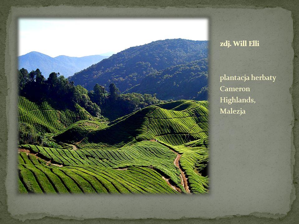 zdj. Will Elli plantacja herbaty Cameron Highlands, Malezja