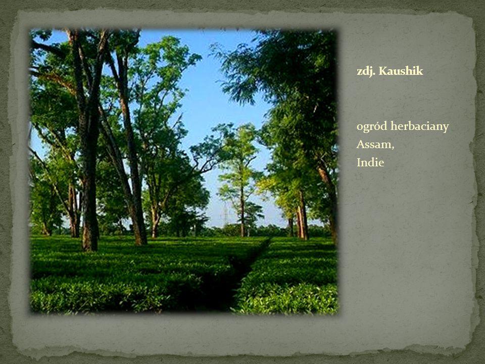 zdj. Kaushik ogród herbaciany Assam, Indie