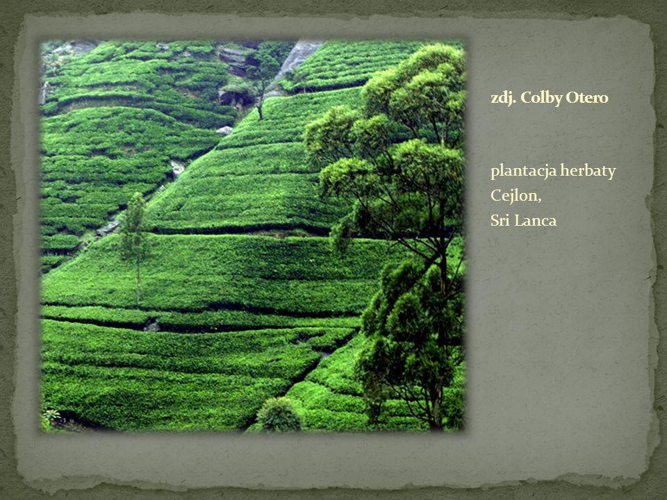 zdj. Colby Otero plantacja herbaty Cejlon, Sri Lanca