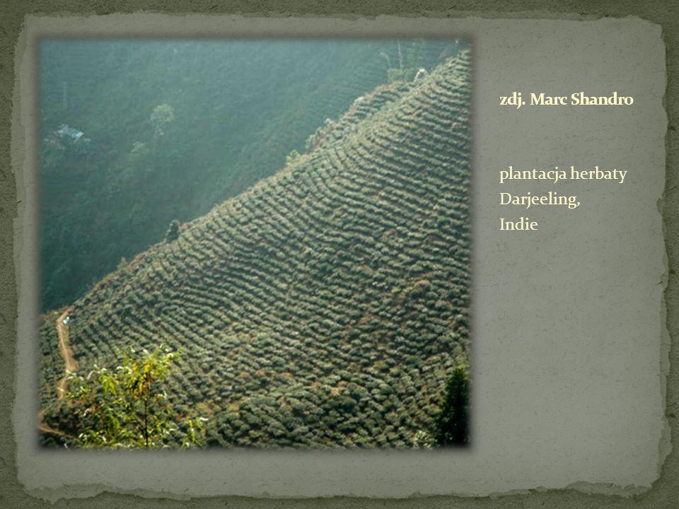 zdj. Marc Shandro plantacja herbaty Darjeeling, Indie