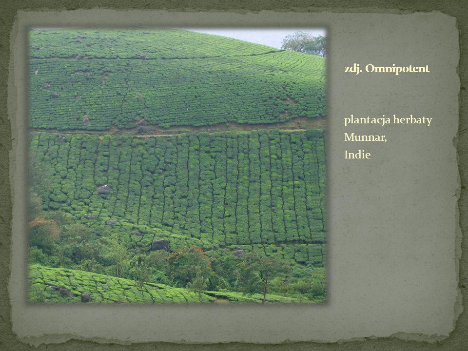 zdj. Omnipotent plantacja herbaty Munnar, Indie